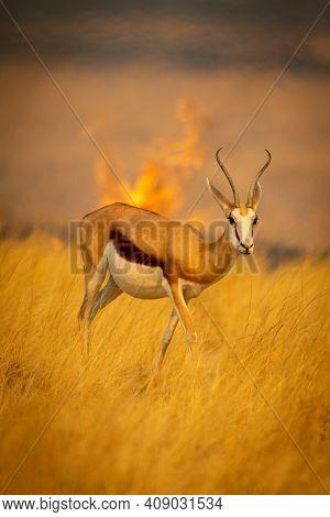 Springbok Walks Through Grass Ahead Of Fire