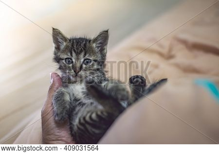 Portrait Of A Young Norwegian Forest Kitten During Sleep.look At The Photographer.on The Bed.very Th