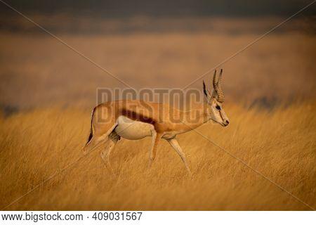 Springbok Walks Through Long Grass In Profile