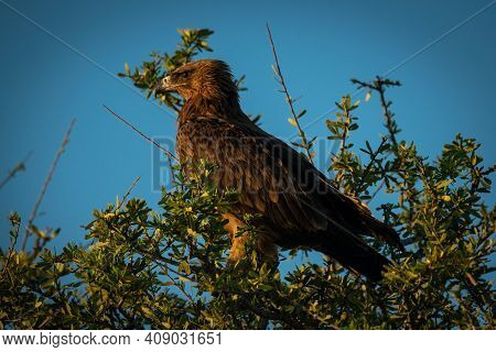 Tawny Eagle In Profile Among Leafy Branches
