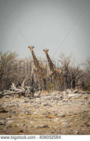 Two Southern Giraffe Stand By Rocky Pan