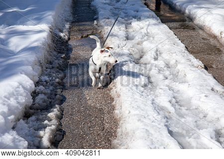 A Small White Dog On A Leash Walks On A Snowy Road In Athens, Greece, February 17th, 2021.