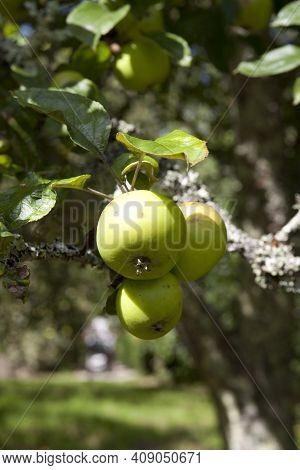 Saltash (england), Uk - August 21, 2015: Apples In Cotehele Park, Near Saltash,  Cornwall, England,