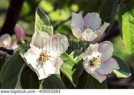 A Bee Collecting Pollen From A Quince Flower. Bees On A Flowering Quince. Close Up Bumble Bee On Pin