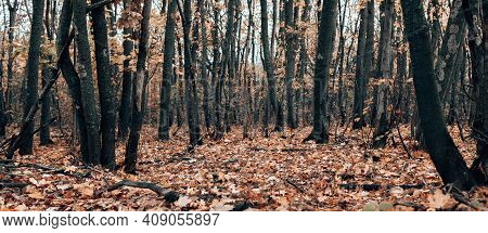 Trunks Of Autumn Trees In The Forest. Fallen Maple Leaves Carpet On The Ground. Horizontal Banner. P