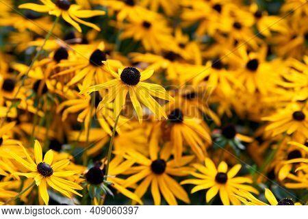 Verbena Bonariensis Flowers (argentinian Vervain Or Purpletop Vervain, Clustertop Vervain, Tall Verb