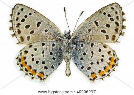 Pseudophilotes Baton (blaue Leitung)