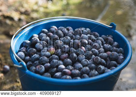 Harvesting Blueberries In The Field. Blue Bucket Full Of Blueberries In Nature Near Blueberries Bush