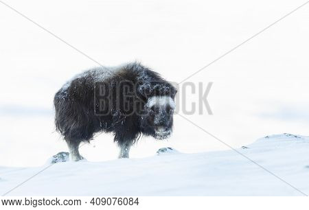 Close-up Of Juvenile Musk Ox (ovibos Moschatus) In Winter, Norway.