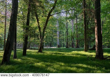 Light Entering Rich Deciduous Forest In Morning With Old Oak Tree In Foreground, Bialowieza Forest,