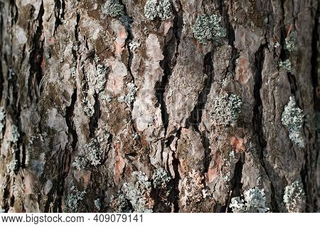 Pine Bark And Moss Texture, Close-up. Tree Background On A Sunny Day Outside