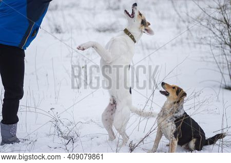 Mixed Breed White Dog Standing On Hind Leg Next To Master While Playing Outdoor With Other Dog In Wi