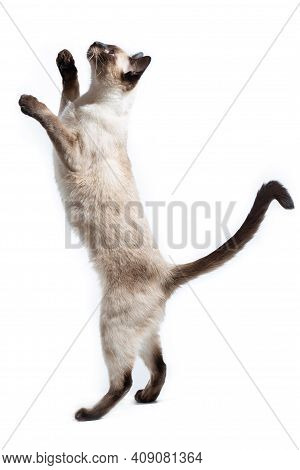 The Cat Of Thai Breed Stands On Its Hind Legs And Looks Up.