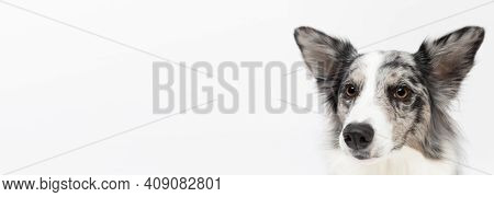 The Head Of A Border Collie Dog With Pedigree In A Panoramic Frame Is Visible At A High Zoom. Purebr