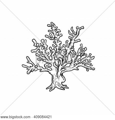 Hand Drawn Corals. Stylophora Corals. Underwater Reef Element. Vector Illustration Isolated On White