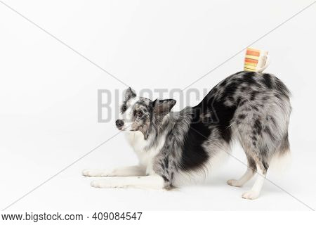 A Thoroughbred And Well-trained Dog Can Bow And Hold A Cup Of Hot Tea On Its Back. Border Collie Dog
