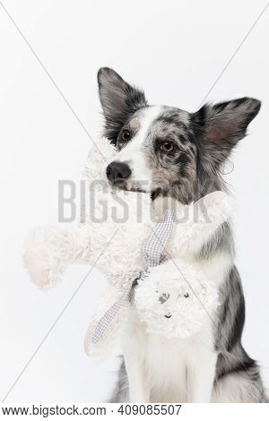 A Well-trained Dog Sits Politely And Holds A White Teddy Bear In Its Mouth. Border Collie Dog. Pureb