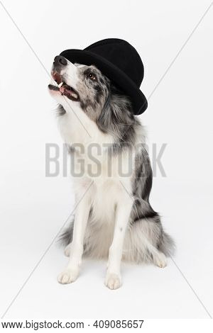 A Trained Dog Sits On Its Butt With A Black Hat On Its Head. Border Collie Dog. Purebred Dog With Pr