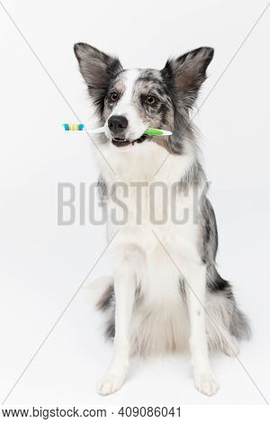 A Well-trained Dog Sits And Prepares For The Daily Toilet As It Holds A Toothbrush In Its Mouth. Bor