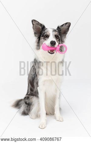 During Exercises, The Dog Sits On His Ass And Holds The Dogs Pacifier In His Teeth. Border Collie Do