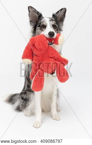 A Properly Trained Dog Sits On Its Ass And Holds Its Favorite Red Stuffed Animal In Its Mouth And Is