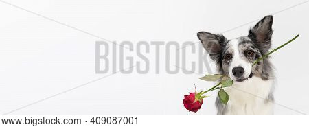 The Frame Shows A Dog That Tilts Its Head To One Side And Holds A Fresh Red Rose In Its Mouth. Borde