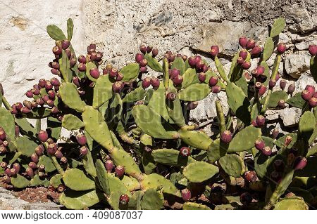 Prickly Pear Cactus With Many Red Fruits With A Stone Wall On Background In The Small Town Of Limone