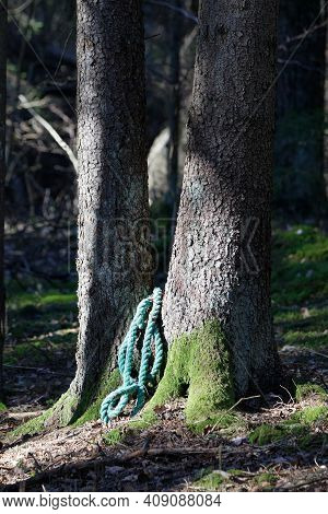 Two Old Spruce Trees With A Green Rope In The Dark Forest. Latin Name Of Spruce: Picea Abies
