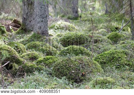 Lots Of Small Humps Covered With Green Moss In The Forest