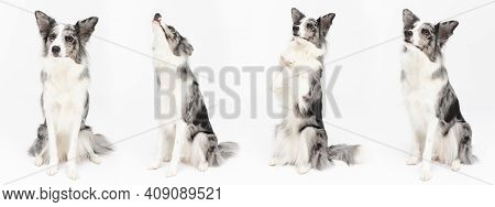 On One Panoramic Frame The Same Dog In Many Sitting Poses. Border Collie Dog. A Purebred Dog With A
