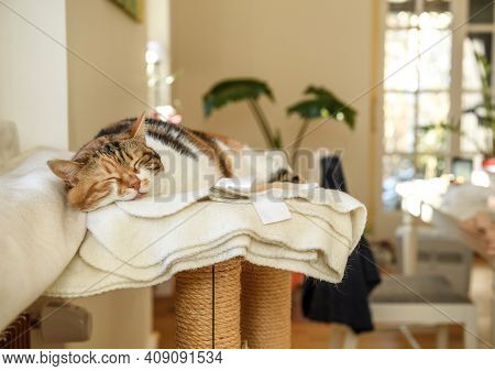Cute Beautiful Cat Sleeping On Her Cat Tree With Large Sun Lit Room Background - Concept Of Peace An