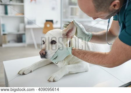 Cropped Portrait Of Mature Veterinarian Examining Ears And Hearing Of White Dog At Vet Clinic, Copy
