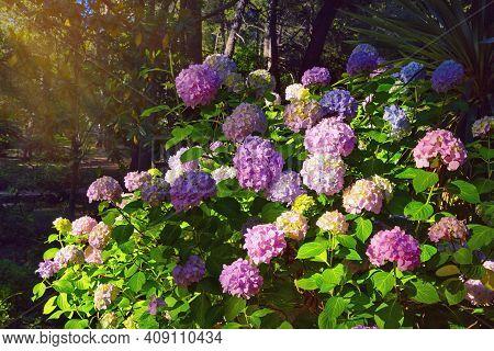 Beautiful Multicolored Flowers Of Hydrangea  (  Hydrangea Macrophylla ) In Park On Sunny Summer Day.