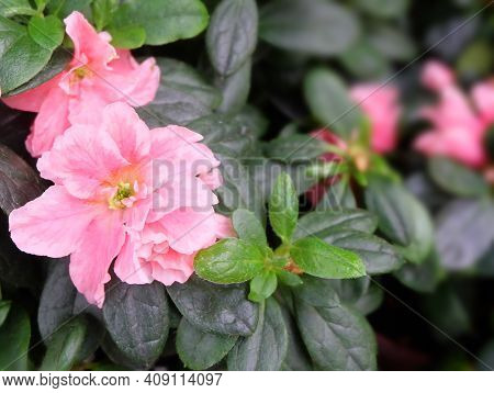 Delicate Pink Japanese Azalea Flower (rhododendron Obtusum) Against A Background Of Greenery, Macro