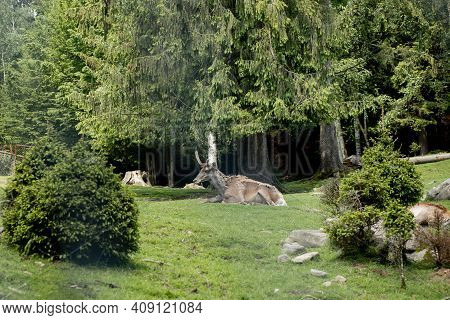 Old Deer Lies On The Grass Near Forest On A Sunny Day.