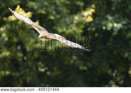 July,25,2020, Poland-ustron-slaskie. Park Of Forest Surprises - Beauty Raptor Bird In Flight