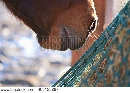 Close Up The Mouth Of A Brown Horse Near Hay Under A Green Hay Net