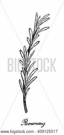 Herbal Plants, Hand Drawn Illustration Of Rosemary Or Rosmarinus Officinalis Plant Used For Seasonin