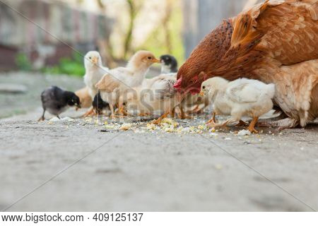 Close Up Yellow Chicks On The Floor , Beautiful Yellow Little Chickens, Group Of Yellow Chicks