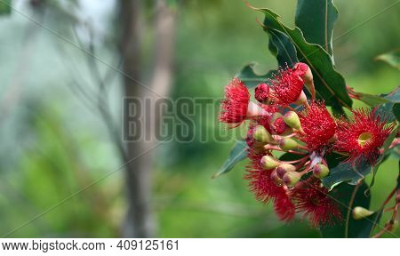 Australian Nature Background With Copy Space. Red Blossoms Of The Australian Native Flowering Gum Tr