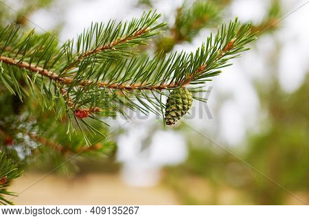 A Pine Branch With A Young Green Pinecone. Macro Photography. Selective Focus.