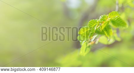 Spring Banner Green Leaves In Selective Focus On A Blurry Background. Long Horizontal Layout For Sum