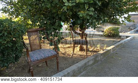 Comfortable Dining Room Chairs Under Lemon Tree