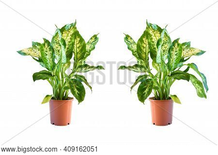 Dieffenbachia,indoor House Plant Growth In Brown Plastic Pot With Green Leaves On White Background I