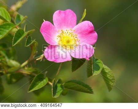 Pink Flower Of Dog Rose. Rosa Canina