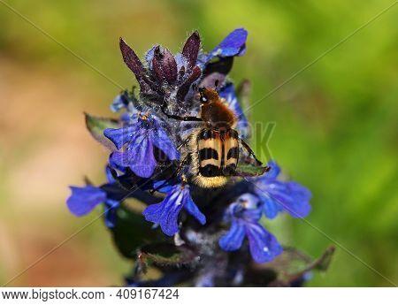 Flower Of Blue Bugle, Ajuga Reptans, And Bee Beetle On It, Trichius Fasciatus