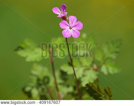 Herb Robert With Pink Flower, Geranium Robertianum