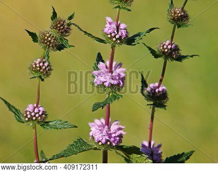 Jerusalem Sage Blooming Plant With Pink Flowers, Phlomis Tuberosa