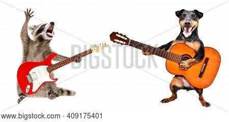 The Raccoon Plays The Electric Guitar And The  Dog Plays The Acoustic Guitar Isolated On White Backg