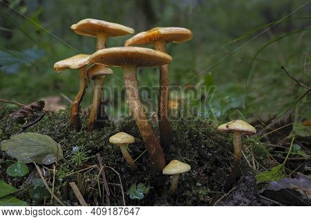The Alder Scalycap (flammula Alnicola) Is An Inedible Mushroom , An Intresting Photo